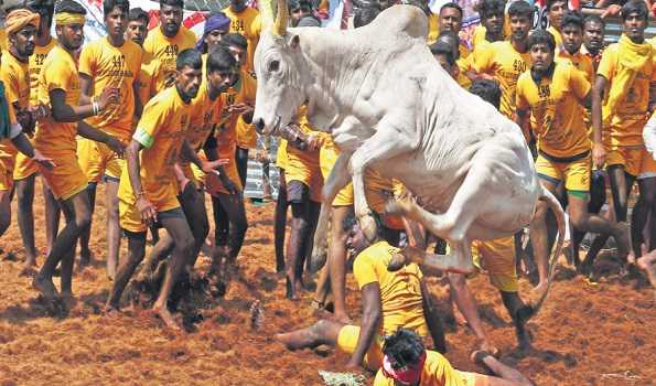 Jallikattu kick-starts with COVID-19 safety norms in TN, Rahul to watch the event