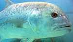Giant fish weighing over 78 kgs fetches over Rs 37 lakhs in auction