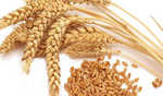 UP: Wheat MSP increased by Rs 50 to Rs 1,975 per quintal