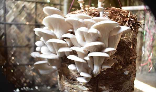 Efforts to increase mushroom cultivation in North-East